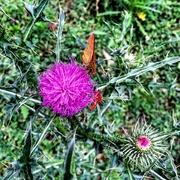 დავიჭირე - ყვავილისგან ნაცდუნები პეპელა
