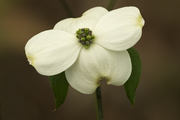 dogwood flower single (A, 17, 4) 100
