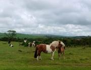 Mare & Foal on Dartmoor