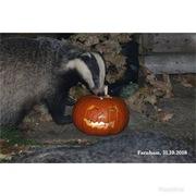 Halloween badger,