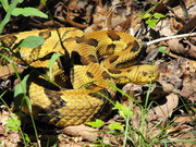 Sugarland Mt Timber Rattlesnake
