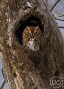 Cades Cove Screech Owl