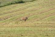 deer a2