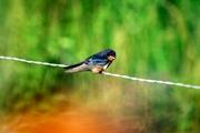 Blue Bird 1a