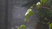 Witch-hobble (viburnum lantanoides alnifolium)