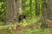 Black Bear yearling 4224