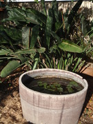 Fish Pond with Lilies