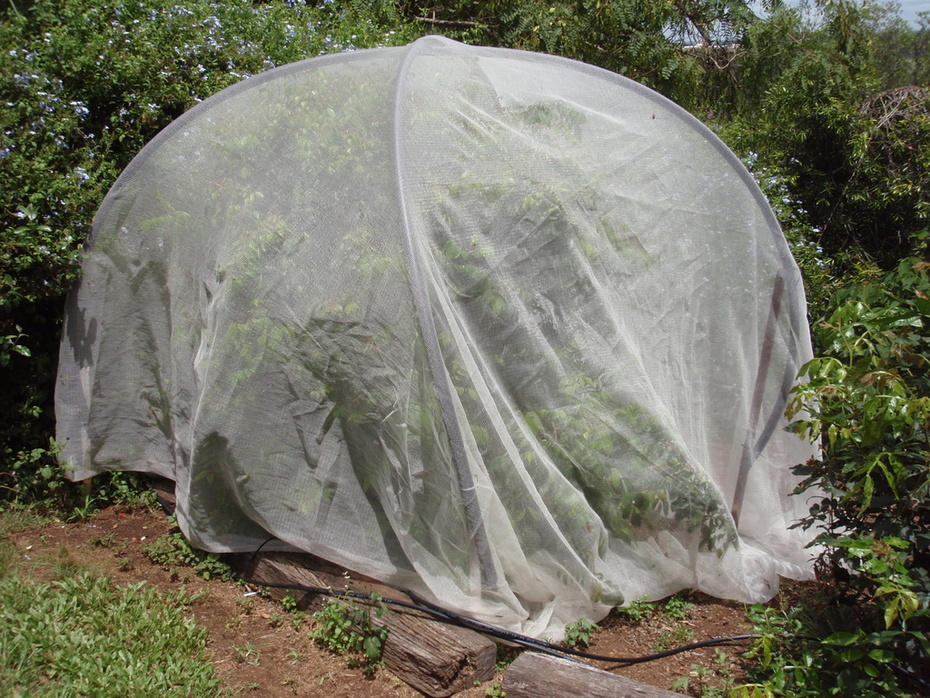 Carambola (star fruit) covered in fruit fly netting