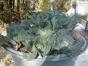 Cabbages and caulis