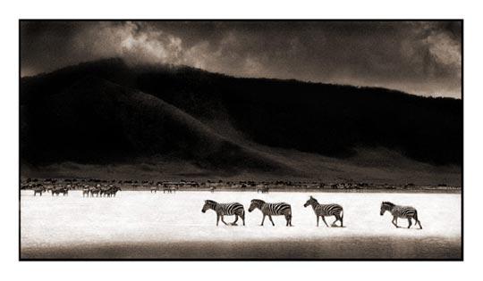 zebras crossing lake