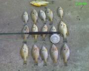 good mess of fish