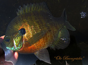 Bronzesided Gill.....