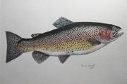 Rainbow trout 002