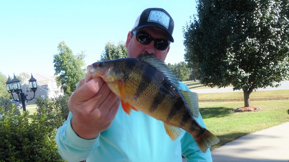 """Big Perch Today at 13.75""""........Thick Shoulders.........10/20/2015"""