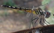 Dragon Fly(1)
