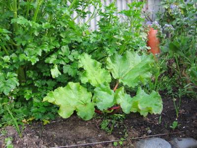 Rhubarb 30/8/09