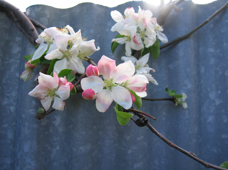 Apple Blossom 1/10/09