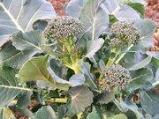 Broccoli - '09