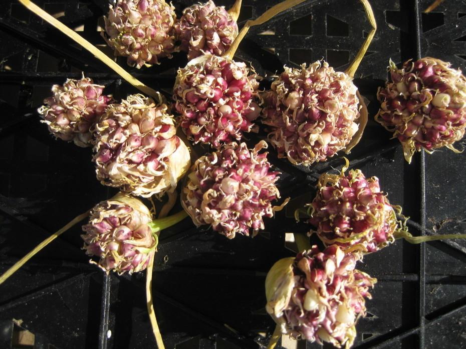 hardneck garlic bulbils