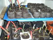 Tomato seedlings, July 2011