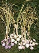 Assorted softneck garlic Dec2011
