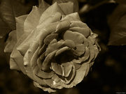 Τριαντάφυλλο #1