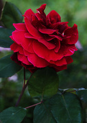 Τριαντάφυλλο #2