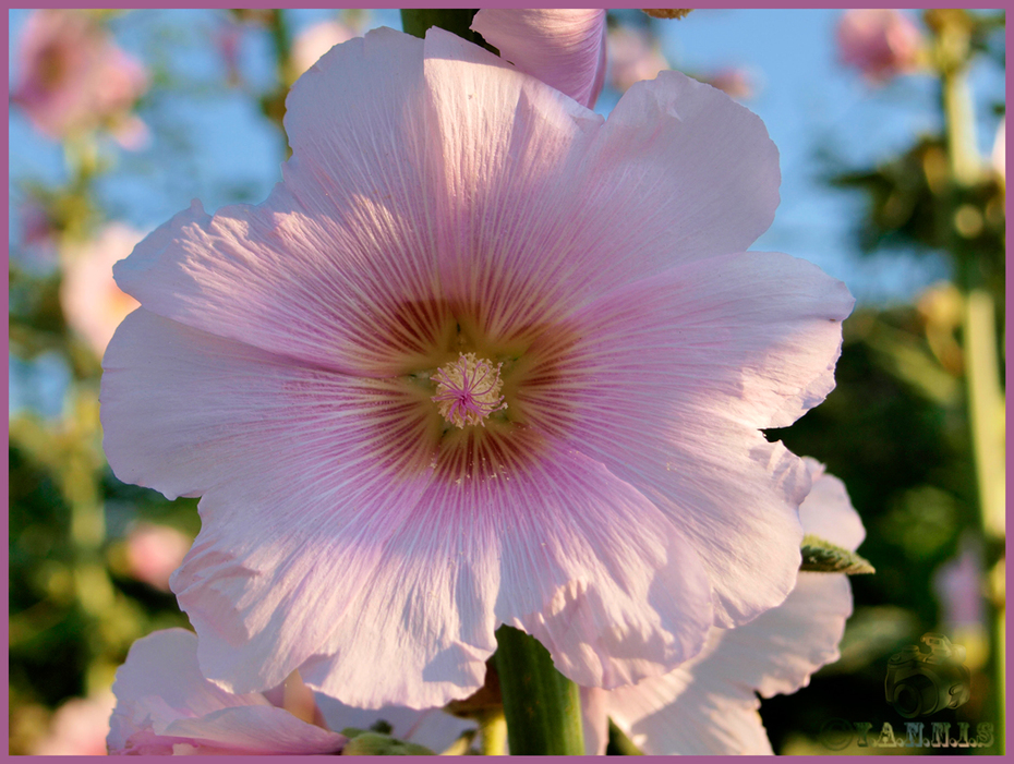Alcea-rosea  (Δενδρομολόχα)