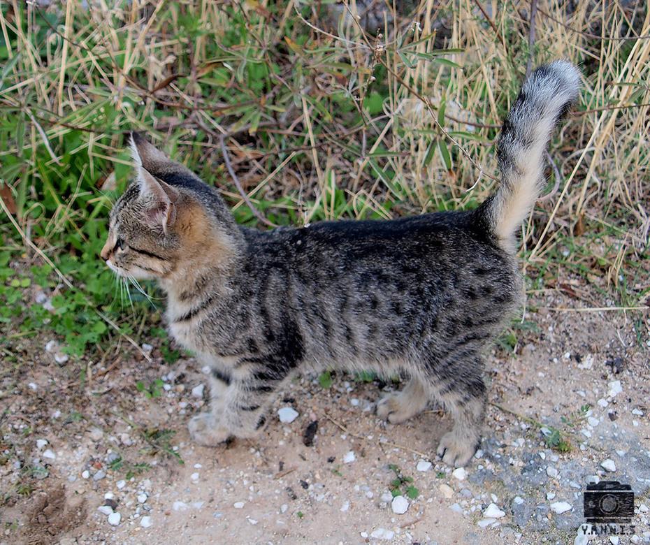 Γάτα φέρμας