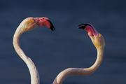 Ηeading Flamingo