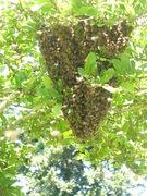 Heart shaped honeybee swarm