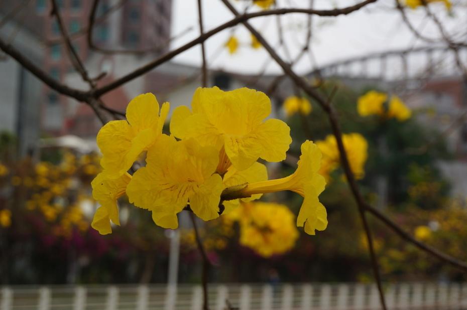 黃花風玲木