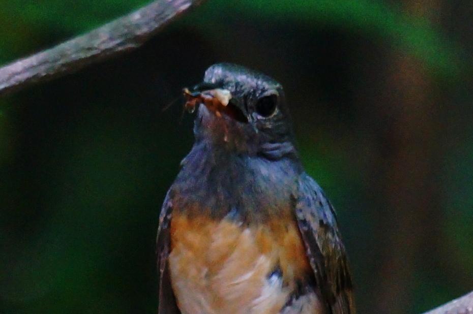 白腰鵲鴝母鳥(長尾四喜)