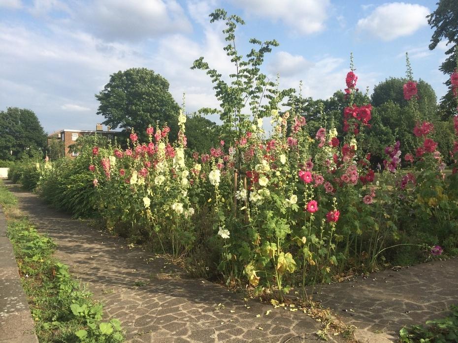 Nightingale Gardens hollyhocks 2015