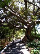 San_Pedro_Averill_Park_tree