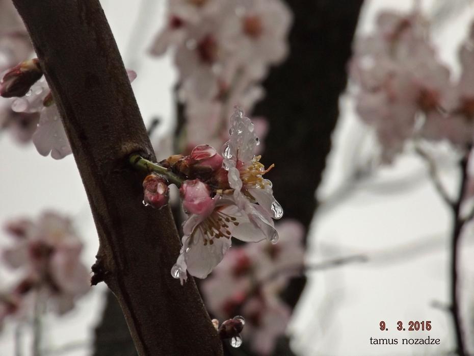 ნუშის ყვავილობა