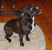 Adopt Julie, the puppy