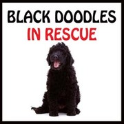 BLACK DOODLES IN RESCUE