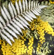 Golden Wattle, Silver Fern