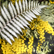 Golden Wattle, Silver Fern