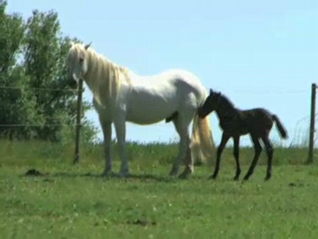 Stallion first meeting with his foal