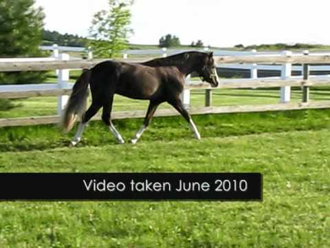 Whispering Marquis - Section B Welsh Pony Stallion