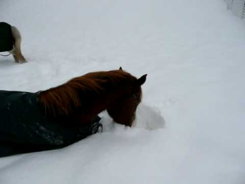 Stetson rolling in the snow ( horse playing in snow )