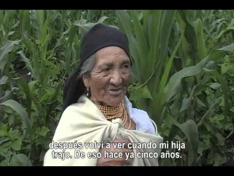 AGRO20: Cultivos Tradicionales en la Provincia de Imbabura - El Amaranto (Kiwicha)