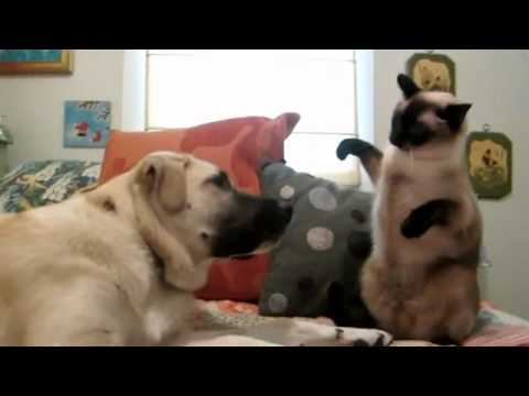Boxing Cat Fights Dog