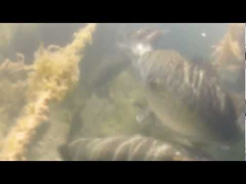 BRUTAL video of largemouth bass beating the daylights out of poor bluegill!