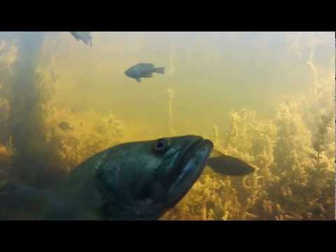 A Fish's View: Bullheads, Bluegill, & Bass