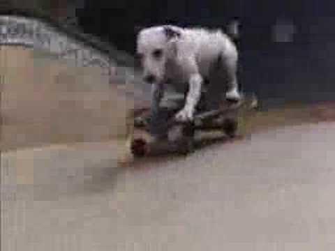 Amazing skateboarding Jack Russell named JoJo!