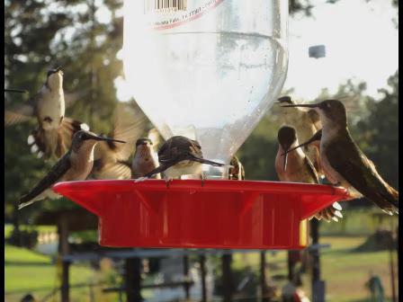 Hummingbirds by the Dozen