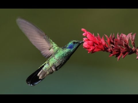 DOCUMENTAIRE Surprenants Colibri Acrobates MAGNIFIQUE